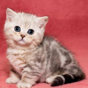 Munchkin Cat for Sale